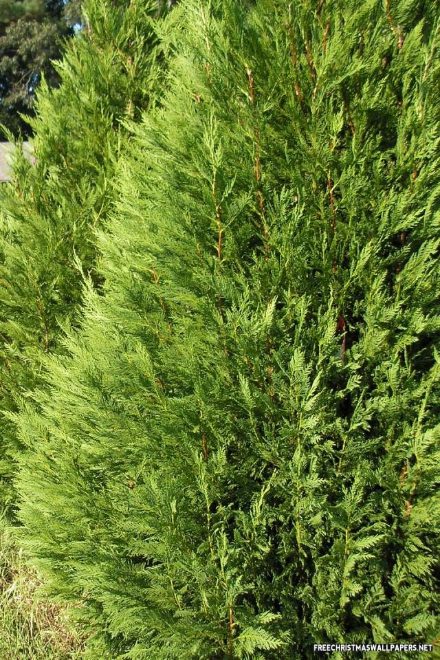 Leyland Cypress Christmas Tree