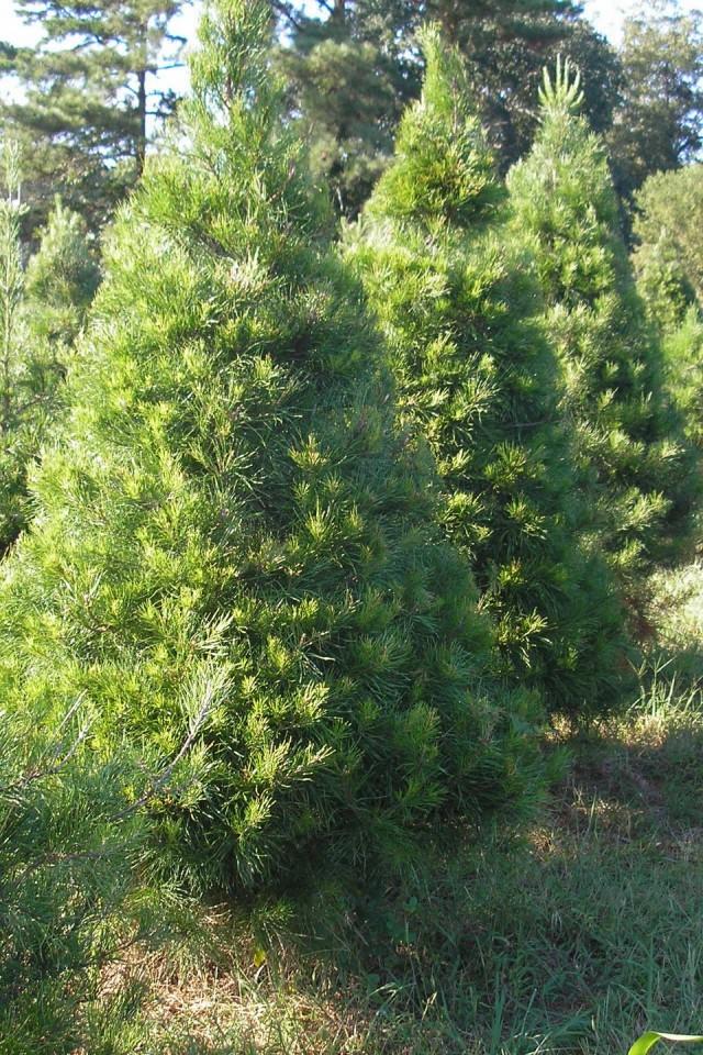 Virginia pine christmas tree iphone 4 4s ipod wallpaper - Pine tree wallpaper iphone ...