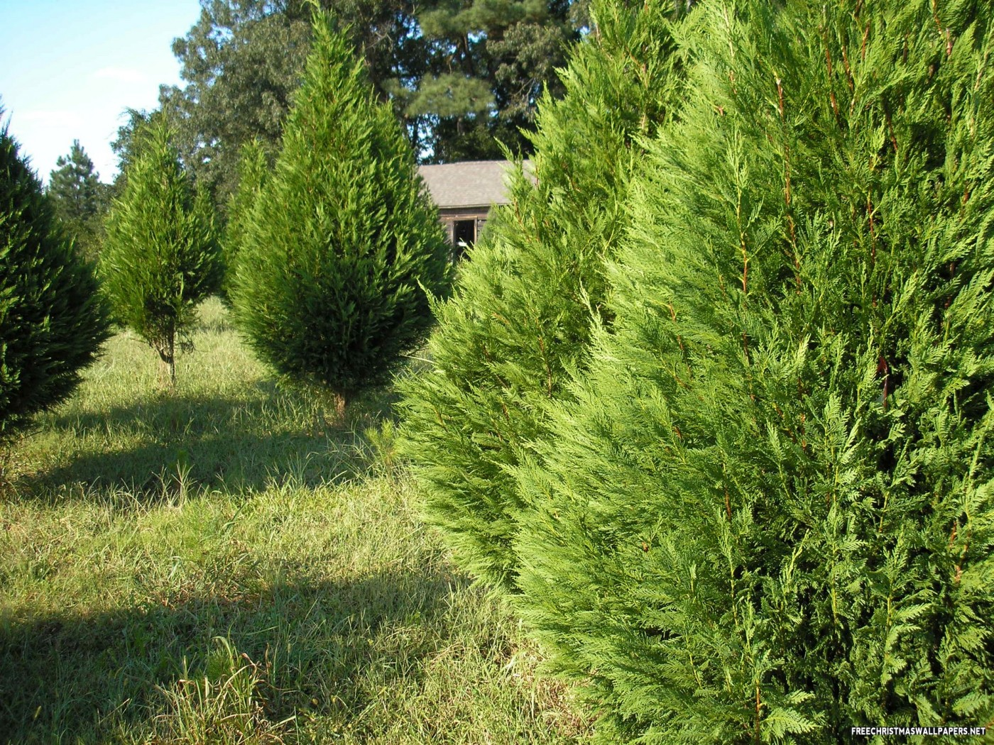 Leyland Cypress Christmas