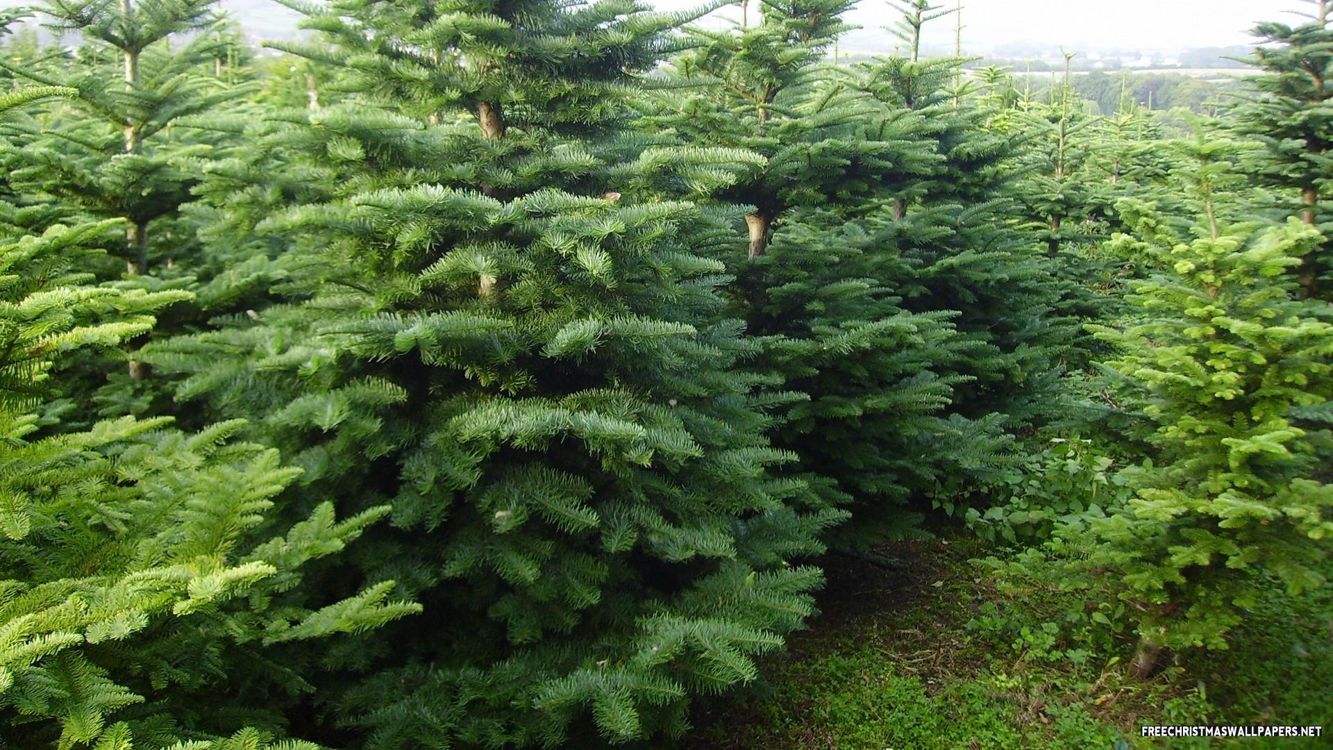 Noble Fir Christmas Tree 1920x1080 (1080p)