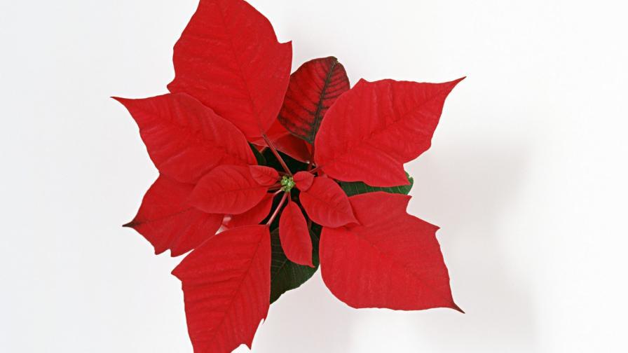 Christmas Flower Wallpaper Freechristmaswallpapers Net