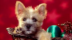 Sweet Christmas Terrier